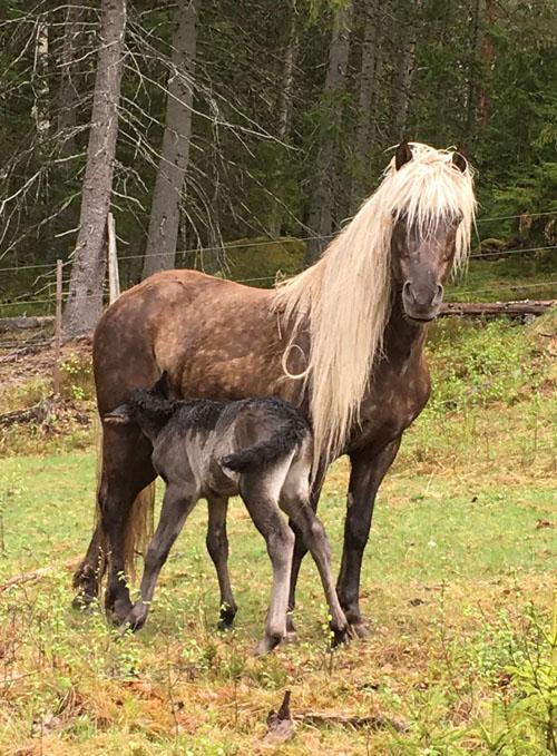 islandshäst till salu